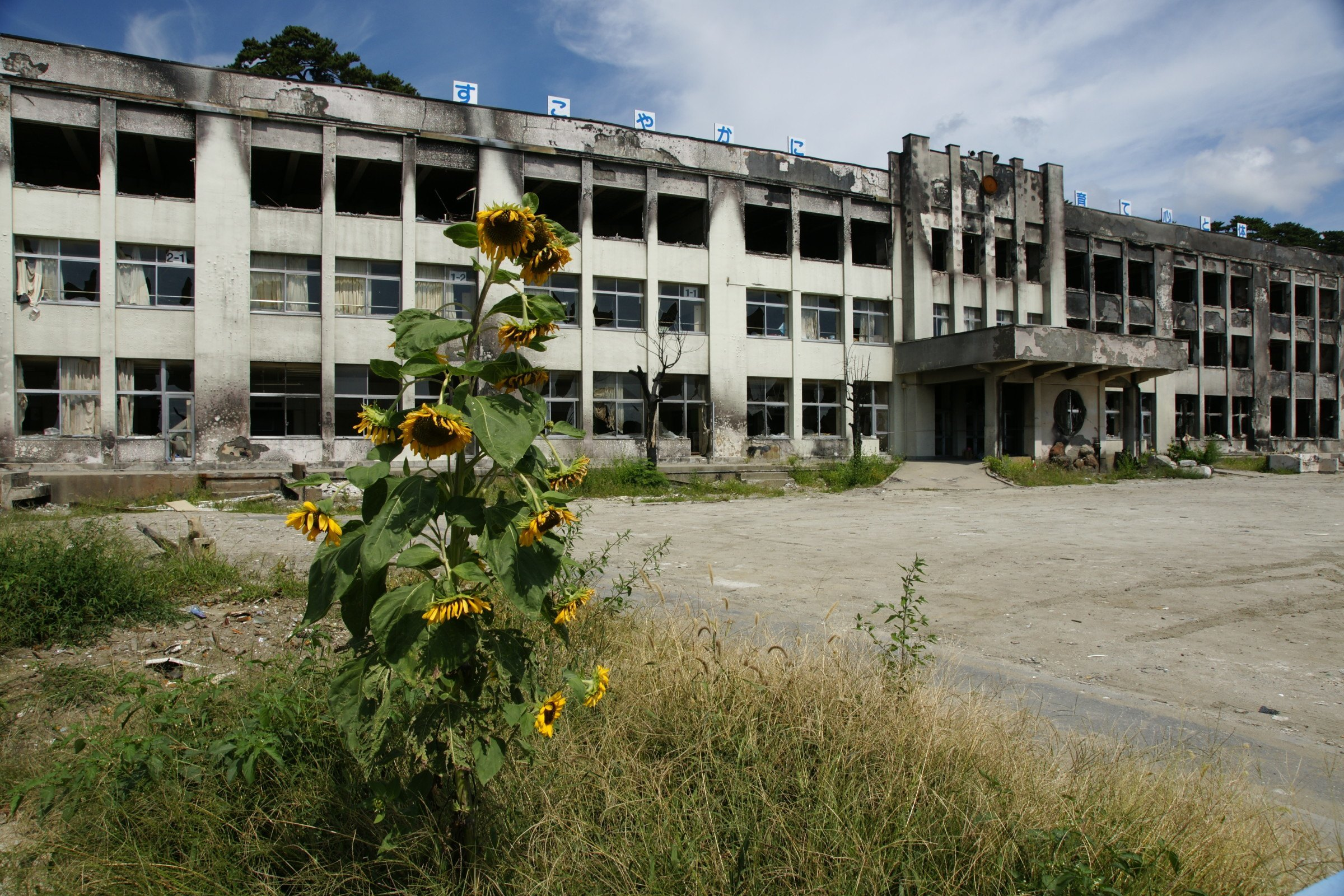 Sunflowers at Kado no Maki Elementary