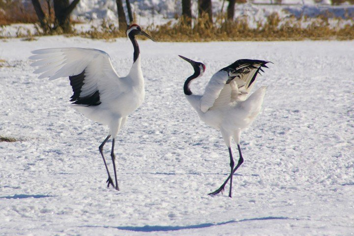 Red-crowned cranes courting