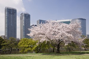Cherry Blossom in Hama-rikyu Gardens