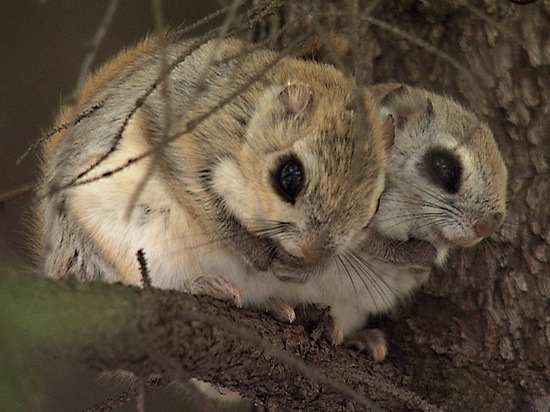 most unique Japanese animals dwarf flying squirrel