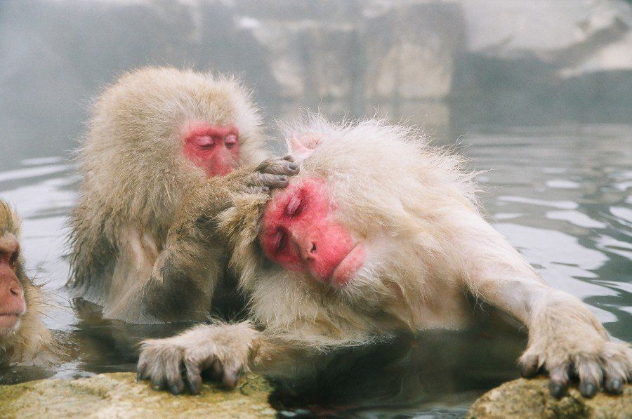 snow monkey 5 unique animals from japan insidejapan blog