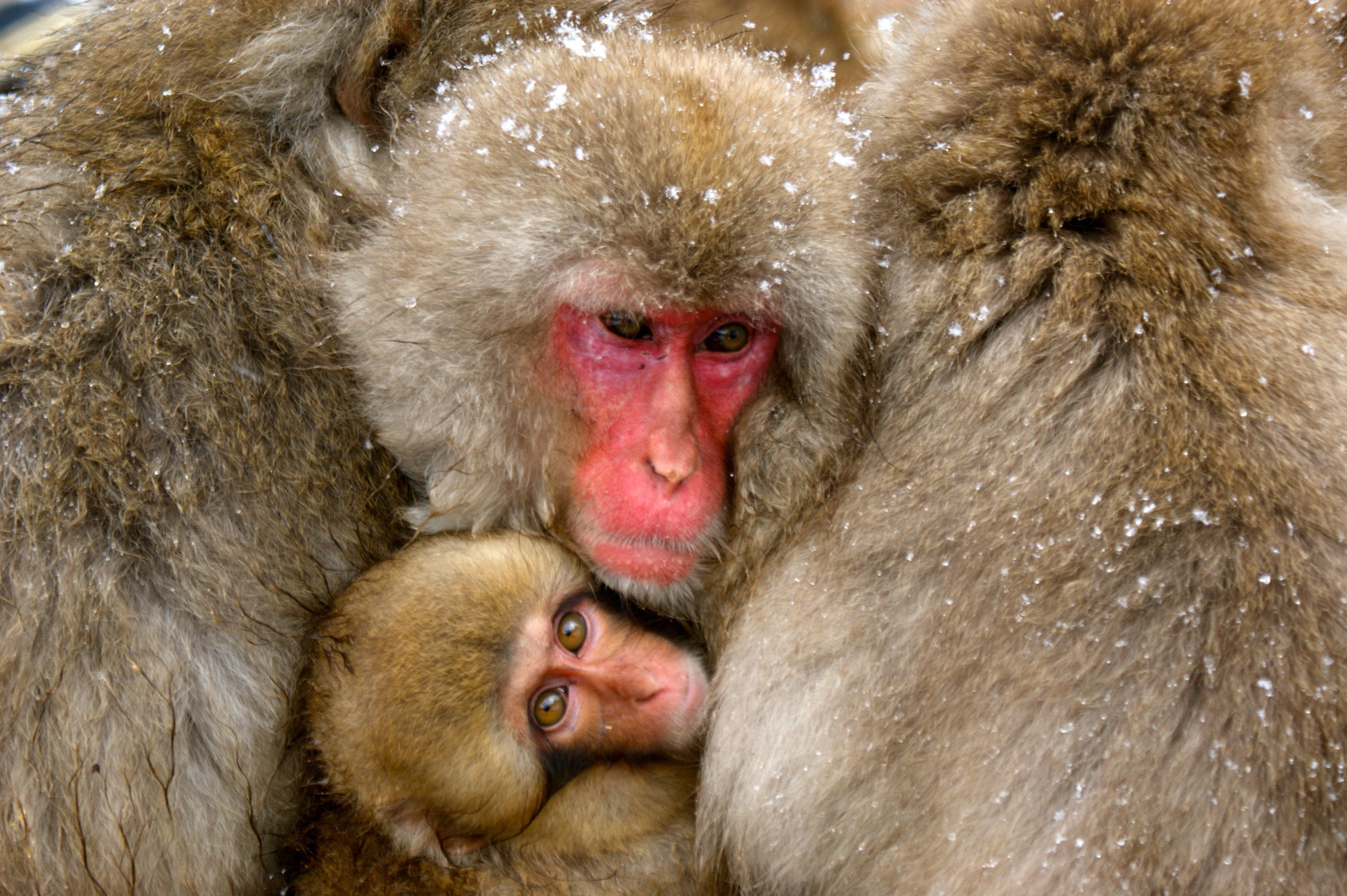 Huddling Macaque