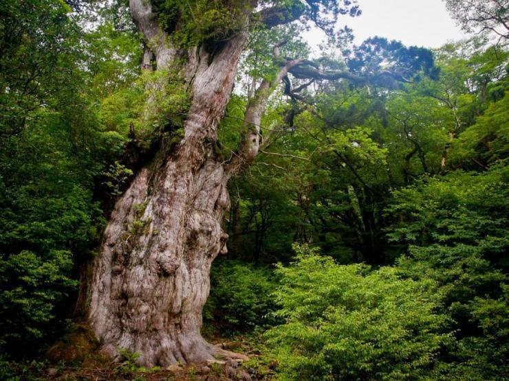 Jomon Sugi: perhaps the oldest tree in the world