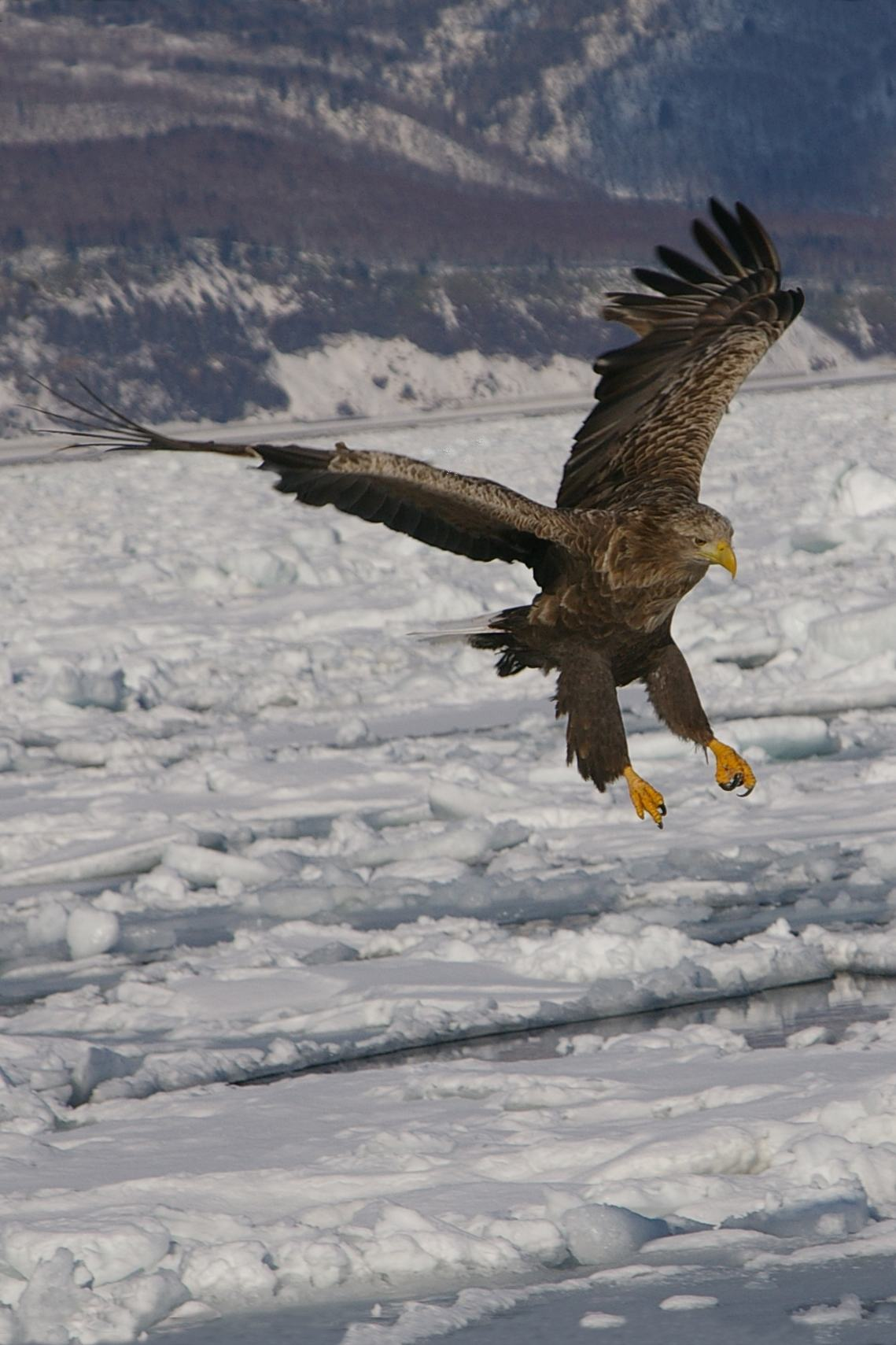 White Tailed on drift ice