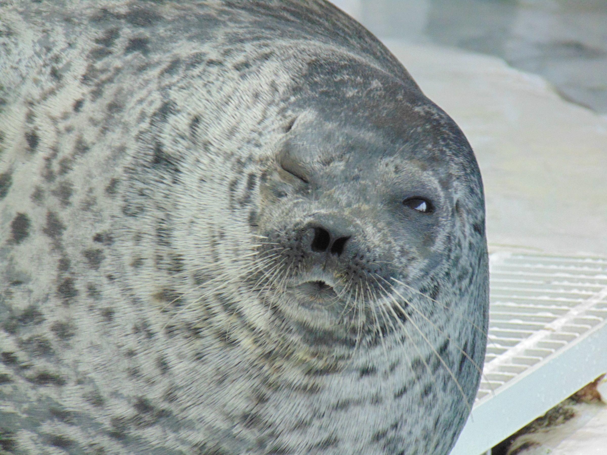 Seal at Osaka Aquarium