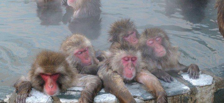 Monkeys relaxing at Jigokudani
