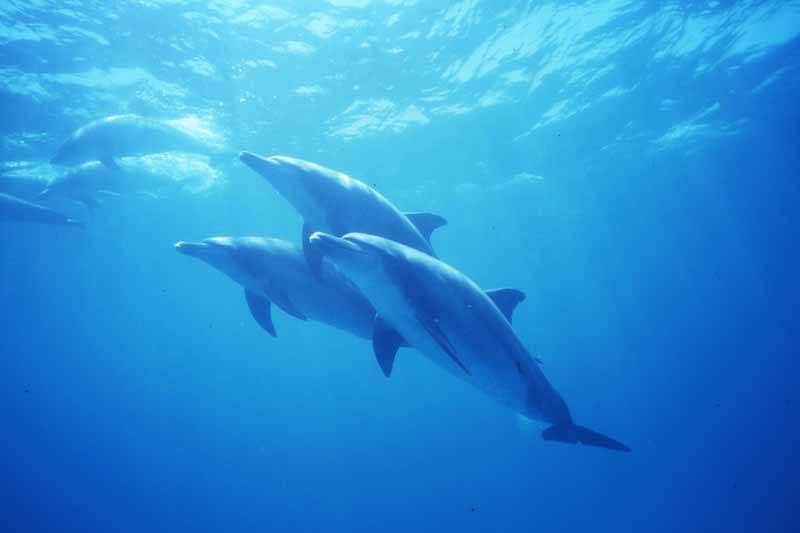 Dolphins in the waters surrounding the Ogasawara Islands