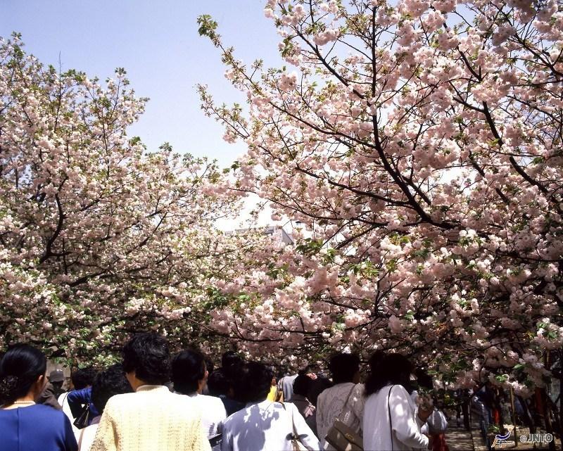 Cherry blossom at the Osaka Mint InsideJapan