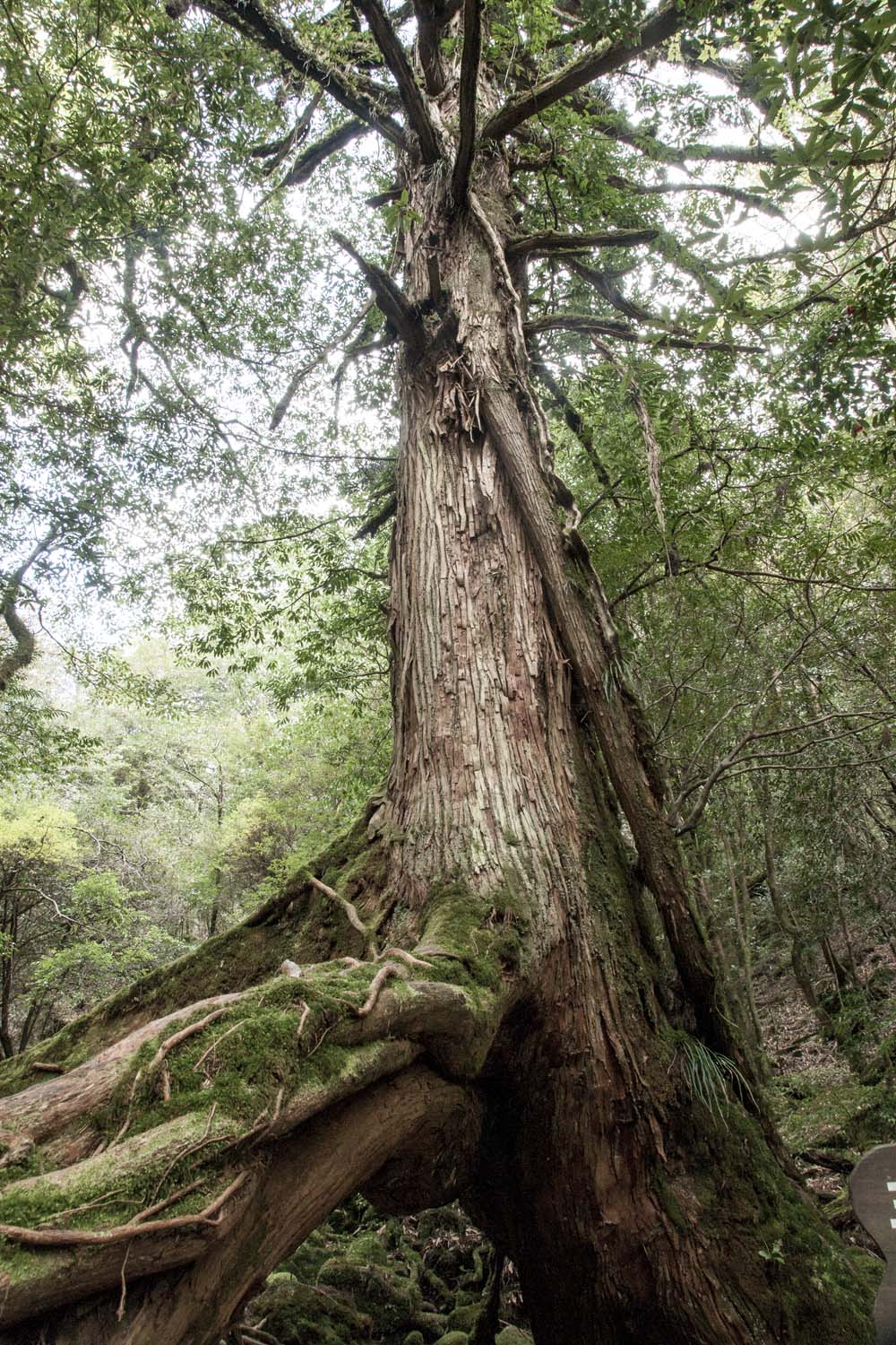 One of Yakushima's ancient trees