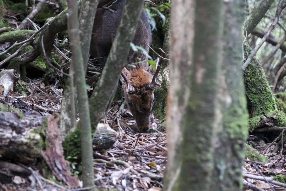A Yakushima deer