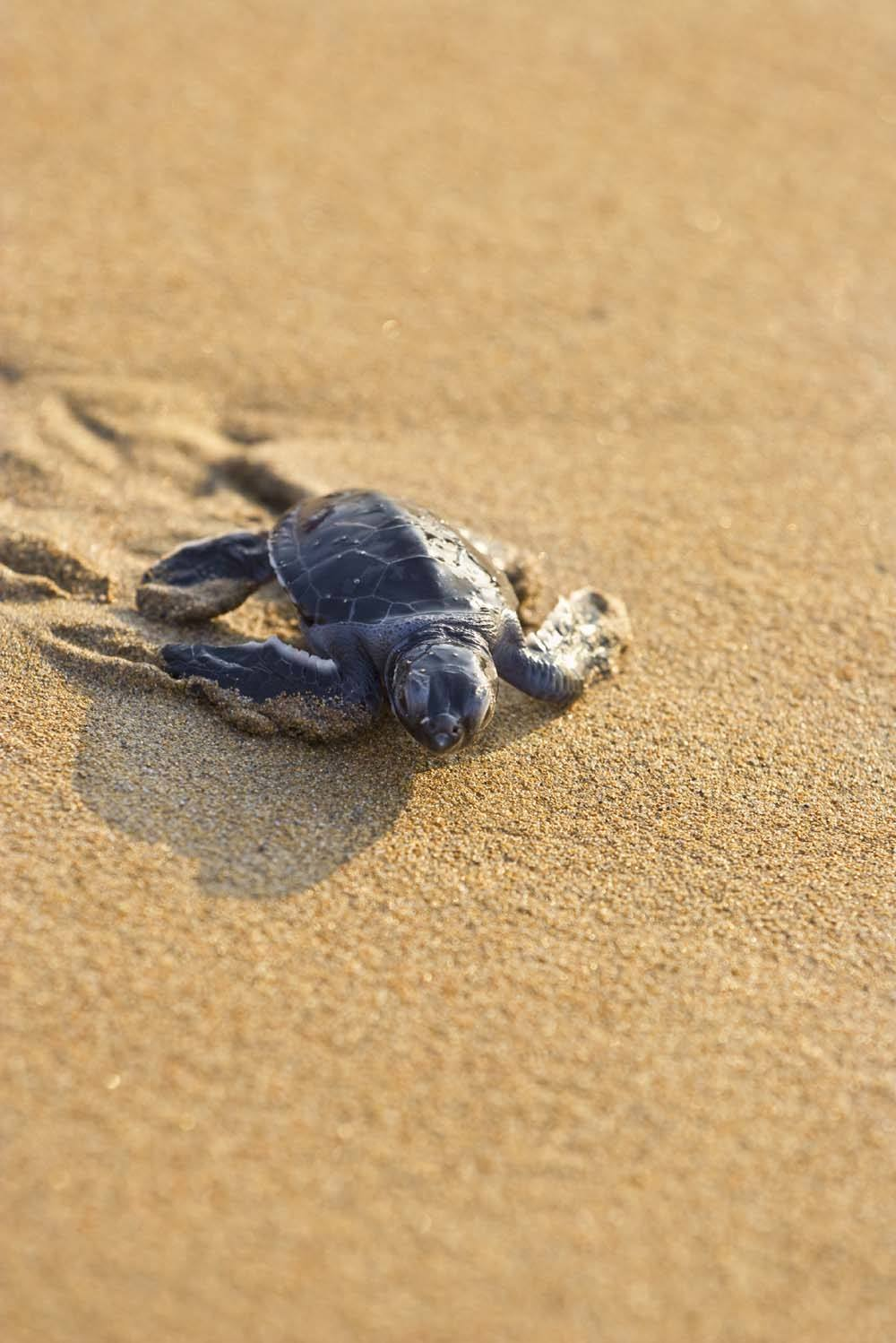 A baby turtle heads for the sea