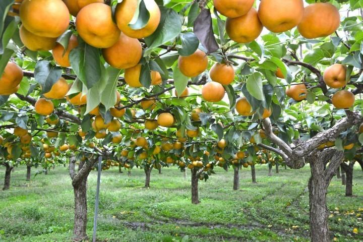 Zoe Nashi Orchard 2
