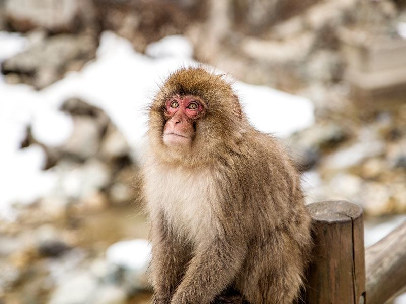 Hot spring bathing snow monkey