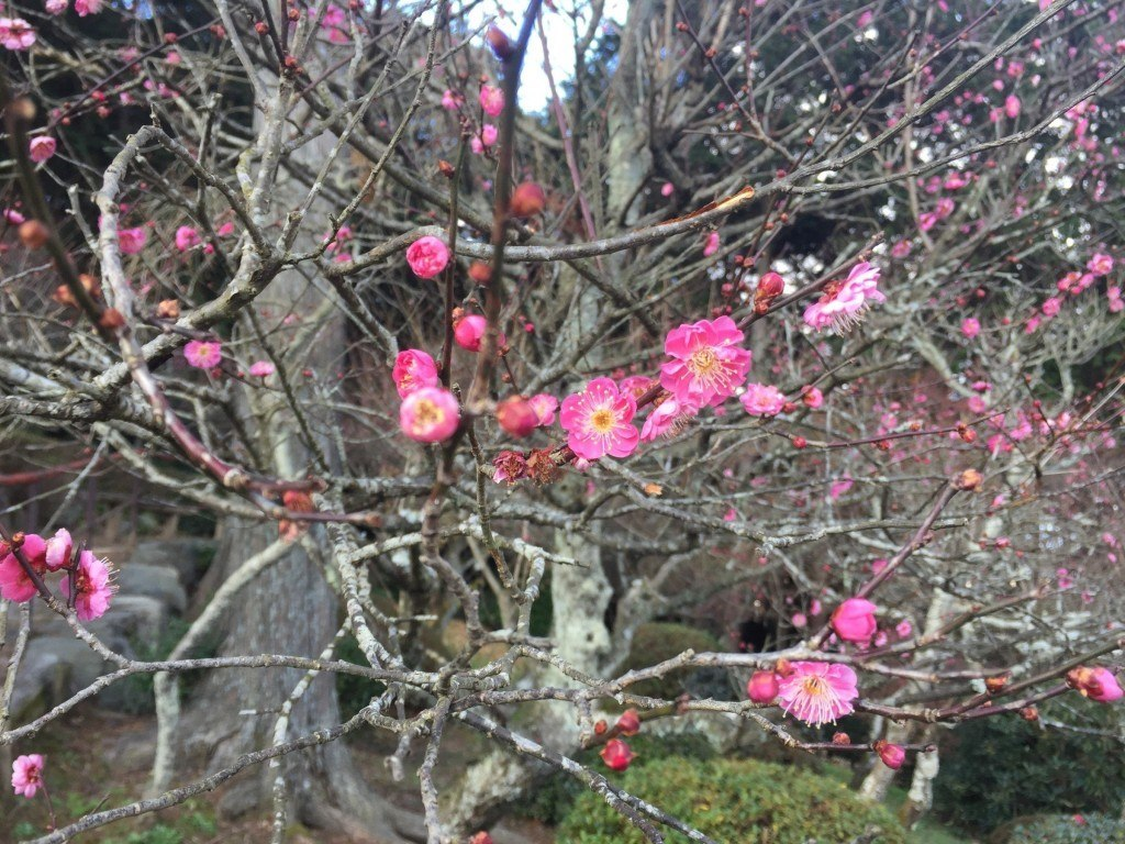 Plum blossoms proving my scepticism to be ill-founded
