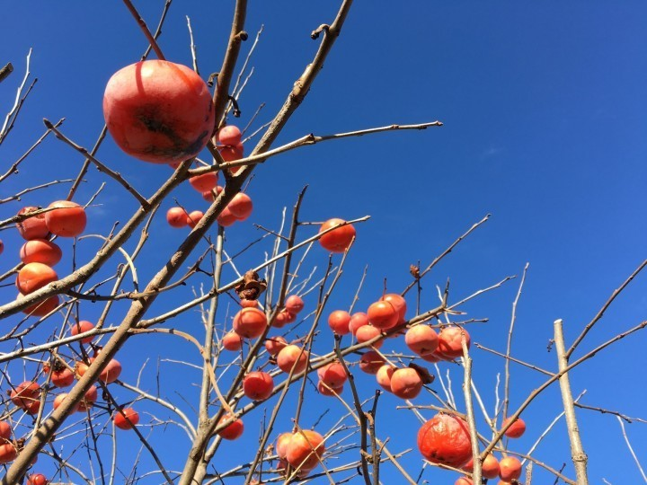 Japanese persimmons, travel to Japan in November