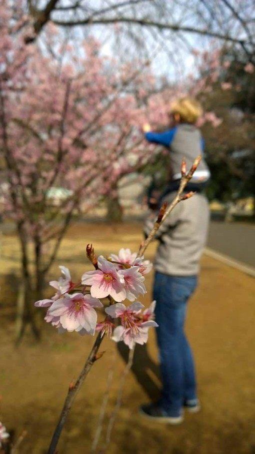 Cherry blossom in Shinjuku Park