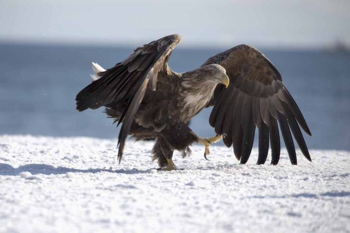 A magnificent Steller's sea eagle