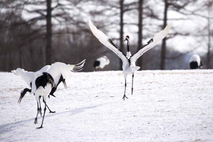 Red-crowned cranes perform their bewitching mating dance