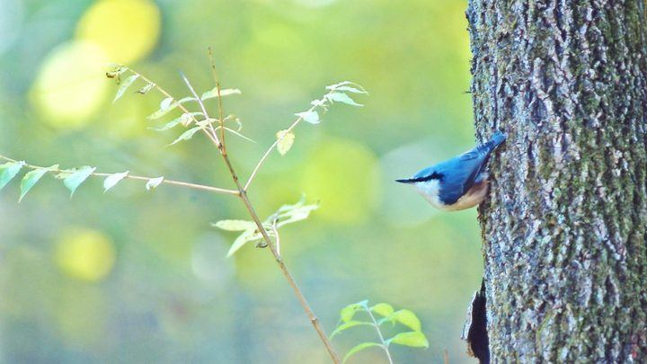 Spot Siberian blue robins - and many other species