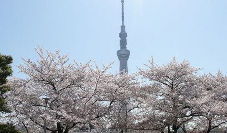 The new Skytree tower with Cherry Blossom taken by the Sumida River